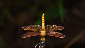 Dragonfly Amberwing мексиканца Стоковое фото RF