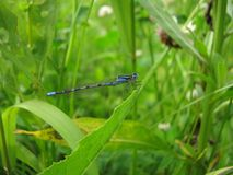 Dragonfly amongst herbal jungle Royalty Free Stock Images