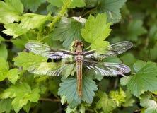 dragonfly ampuła Zdjęcia Stock