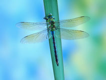 Dragonfly Anax imperator (female) Blue Emperor Stock Images