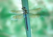 Dragonfly Anax imperator (female) Blue Emperor Stock Photo