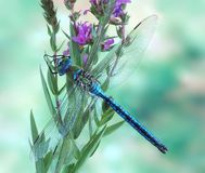 Dragonfly Anax imperator (male) Blue Emperor. On a plant Stock Photos