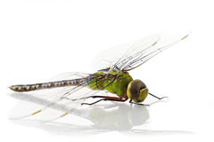 Dragonfly Anax imperator (male)  Stock Photography