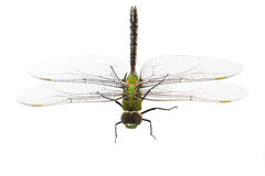 Dragonfly Anax imperator (male) Stock Images