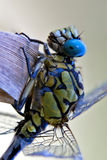 Dragonfly anax imperator Stock Photography