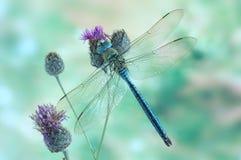 Dragonfly Anax imperatora Błękitny cesarz (samiec) zdjęcia stock