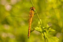 Dragonfly. Animalia  Arthropoda Insecta  Odonata Epiprocta Anisoptera Stock Photos