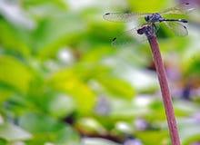 Dragonfly, Anisoptera Class. Hexapoda. Botanical Gardens Merida, Venezuela stock photo