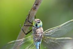 DragonFly. Anisoptera, in Danube Delta, Romania royalty free stock photo