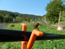 Dragonfly / Anisoptera on fishig pole with orange support. Dark red Dragonfly / Anisoptera on fishig pole closeup on orange fishing pole support stock image