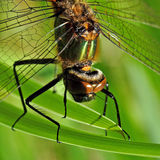 Dragonfly Anisoptera head. A closeup of the dragonfly Anisoptera head above page royalty free stock image