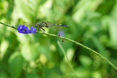 Dragonfly Anisoptera with purple flower. Closeup photograph of a dragonfly resting on flower stems stock photos