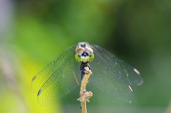 Dragonfly at the anterior side Stock Photo