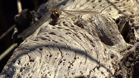 Dragonfly & Ants on old pond log Grandview State Park, WV stock video footage