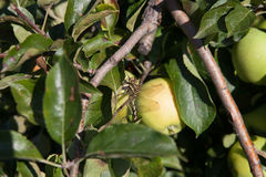 Dragonfly on the apple tree in the sunny day Royalty Free Stock Photo