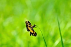 Dragonfly (arria variegata Rhyothemis) Стоковые Изображения