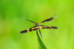 Dragonfly (arria variegata Rhyothemis) Стоковое Изображение