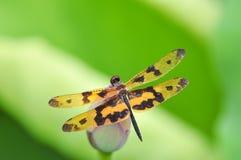 Dragonfly (arria variegata Rhyothemis) Стоковая Фотография