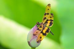 Dragonfly (arria variegata Rhyothemis) Стоковые Изображения RF