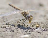 dragonfly łasowanie Zdjęcie Stock