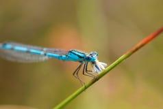 dragonfly łasowanie Obraz Stock
