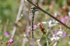 Dragonfly austeria Zdjęcia Royalty Free