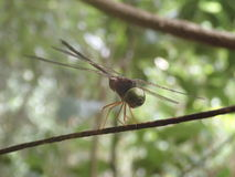 Dragonfly. In Australia Royalty Free Stock Photography