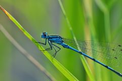 Dragonfly, Azure Bridesmaid, Insect Royalty Free Stock Photography