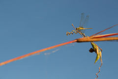 dragonfly błękitny niebo Zdjęcie Royalty Free