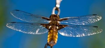 Dragonfly błękitny tło na słonecznym dniu Obrazy Stock