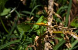 Yellow Dragonfly in the back yard with vegetation background royalty free stock photography