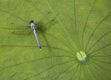 Dragonfly background. A dragonfly on a lily pad Royalty Free Stock Images
