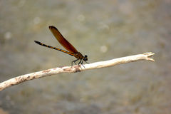 Dragonfly. Background beautiful beauty blue clear dragonfly art Stock Photos