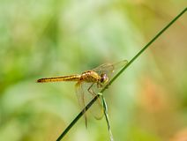 Dragonfly. On a background of green grass Stock Photos
