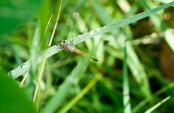 Dragonfly on a background of green grass. The dragonfly is associated with summer and early autumn Royalty Free Stock Photography