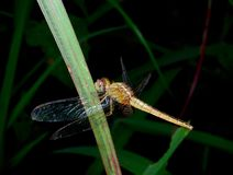 Dragonfly on a background of green grass. Close up Dragonfly on a background of green grass Stock Images