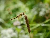 Dragonfly is on a background of green grass Stock Photography