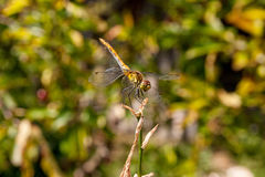 Dragonfly on a background of green grass sitting on a branch Royalty Free Stock Photography