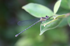Dragonfly 303 Royalty Free Stock Images