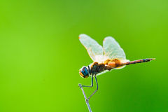 Dragonfly Backlit. Colorful image of a dragonfly on a green background Royalty Free Stock Image