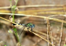 Dragonfly balance Stock Photo