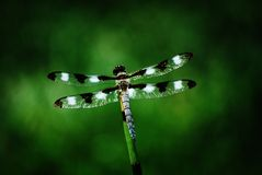 Dragonfly on Bamboo. This shot was taken in Northern California Stock Photography