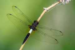 Dragonfly on bamboo. Beautiful dragonfly on branch with green back ground Stock Photo