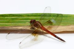 Dragonfly on the bamboo leaf on the white background. it is a fast flying long bodied predator insect with two pairs of large wing. S that are spread out Royalty Free Stock Images