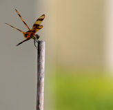 Dragonfly. A dragonfly on the bamboo stick Stock Photography