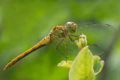 Dragonfly bandaged lat. Sympetrum pedemontanum in sunlight. Macro Royalty Free Stock Images