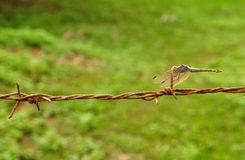 Dragonfly on barbed wire. On green Stock Images