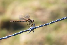 Dragonfly on barbed wire Stock Photos