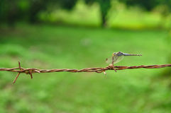 Dragonfly on barbed wire on green. Dragonfly (Sympetrum striolatum) on a barbed wire Stock Photo