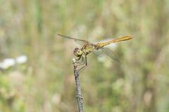 Dragonfly basking3 Obrazy Royalty Free